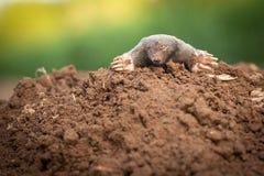 The European mole. In the garden Stock Photo