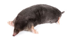 The European mole. On a white background, separately Stock Images