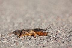 European mole cricket Stock Photos