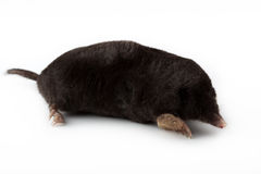European Mole (Talpa europaea) Royalty Free Stock Photos