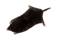 European Mole (Talpa europaea) Royalty Free Stock Images