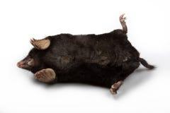 European Mole (Talpa europaea) Stock Image