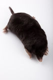 European Mole (Talpa europaea) Stock Photos