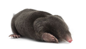 European Mole, Talpa europaea. Against white background stock photos