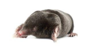 European Mole, Talpa europaea Stock Photo