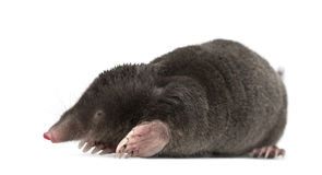 European Mole, Talpa europaea. Against white background stock photo