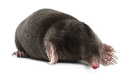 European Mole, Talpa europaea. Against white background royalty free stock images