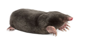 European Mole, Talpa europaea Stock Photos