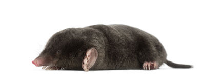 European Mole, Talpa europaea. Against white background royalty free stock photography