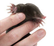 European Mole, Talpa europaea, close up Stock Photos