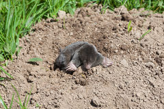 European mole, Talpa europaea, emerging from a molehill Stock Photo