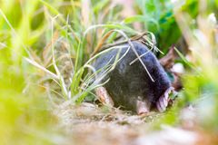 European mole Talpa europaea hidden in the grass. Black European mole Talpa europaea hidden in the grass stock photo