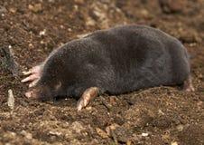 The European mole Talpa europaea Royalty Free Stock Image