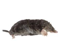 The European mole on white background Stock Image