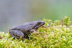 European moor frog Stock Images