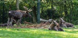 European Moose, Alces alces, also known as the elk. Wild life animal stock photo
