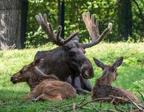 European Moose, Alces alces, also known as the elk. Wild life animal royalty free stock image