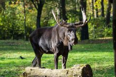 European Moose, Alces alces, also known as the elk. Wild life animal royalty free stock photography