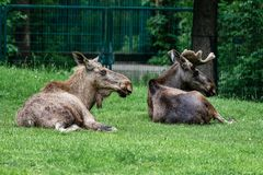 European Moose, Alces alces, also known as the elk. Wild life animal stock image