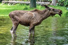 European Moose, Alces alces, also known as the elk stock photos