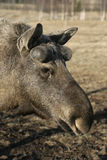 European moose, Alces alces machlis Royalty Free Stock Photos