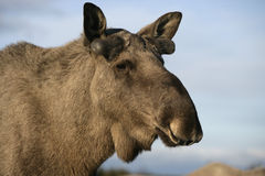 European moose, Alces alces machlis. Single mammal close up of head, Sweden Royalty Free Stock Photography