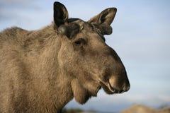 European moose, Alces alces machlis Royalty Free Stock Photography