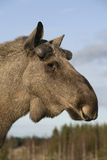 European moose, Alces alces machlis Royalty Free Stock Images