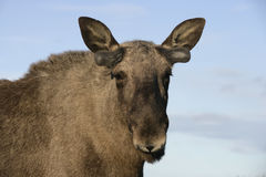 European moose, Alces alces machlis Royalty Free Stock Photo