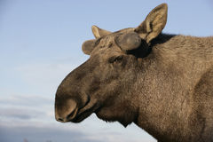 European moose, Alces alces machlis Royalty Free Stock Image