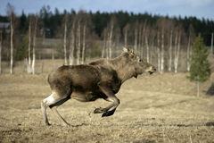 European moose, Alces alces machlis Stock Image