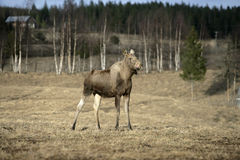 European moose, Alces alces machlis. Single mammal in wood, Sweden Stock Images