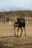 European moose, Alces alces machlis Royalty Free Stock Photography