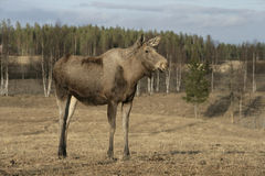 European moose, Alces alces machlis Stock Photography