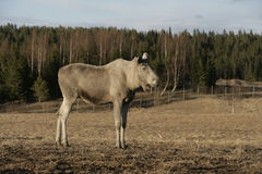European moose, Alces alces machlis Stock Images