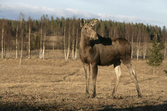European moose, Alces alces machlis Stock Photo