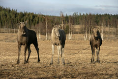 European moose, Alces alces machlis. Three mammals in wood, Sweden Royalty Free Stock Image