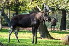 European Moose, Alces alces, also known as the elk stock image