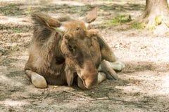 European moose lying Royalty Free Stock Photo