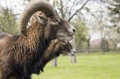 European mouflon animals, male and female stock images