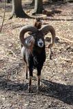 European Mouflon Royalty Free Stock Images