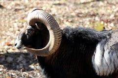 European Mouflon Stock Photos