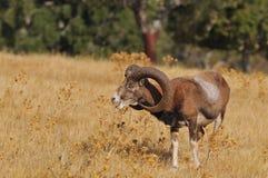 European mouflon in the field. Stock Images
