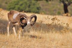 European mouflon in the field. Royalty Free Stock Photo