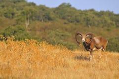 European mouflon in the field. Stock Photos