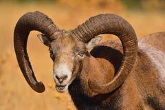 European mouflon in the field. Stock Photography