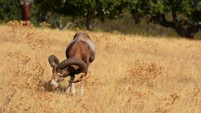 European mouflon in the field. stock video
