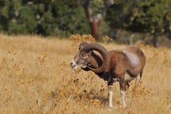 European mouflon in the field. Royalty Free Stock Photos