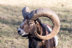 European Mouflon with Horns Stock Images