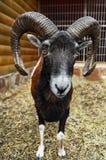 A European mouflon male in the cage. A European mouflon male in the open-air cage Royalty Free Stock Photos